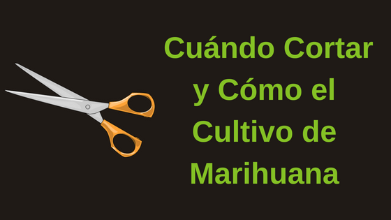 cuándo cortar y cómo el cultivo de marihuana