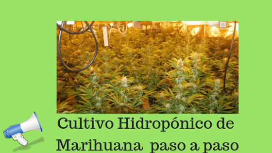 hidropónico Cultivo Hidropnico De Marihuana Sweet Grass Horticultura