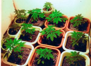Cultivo Hidropónico de Marihuana paso a paso